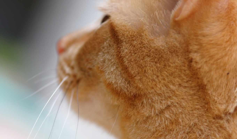 усы, макро, кошка,