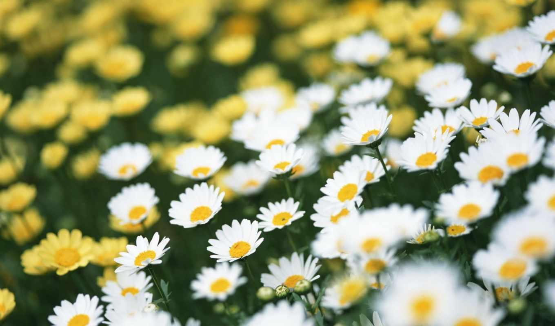 летние, лето, цветы,