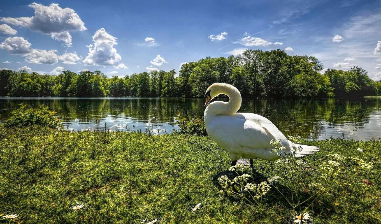 goose, птицы, summer,