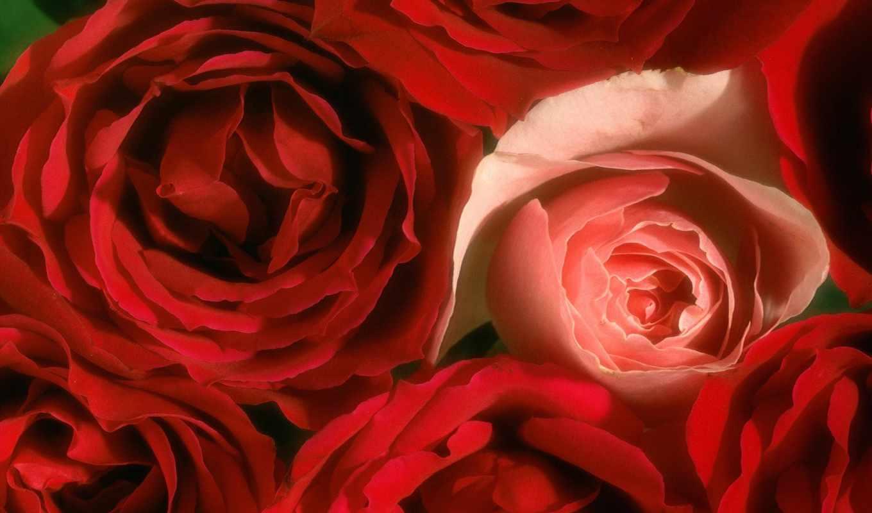 розы, cvety, красные, роз, клипарты,