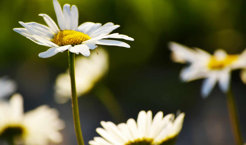 цветы, ромашки, высоком, summer, свет,