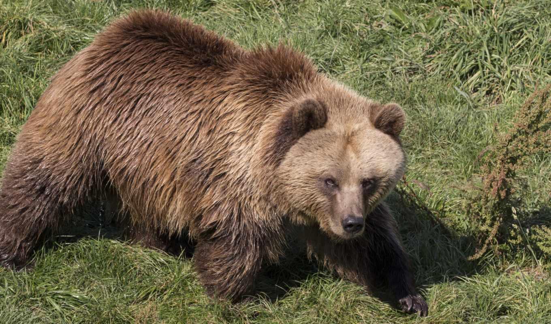 медведь, бурый