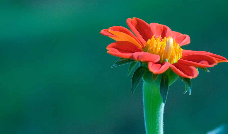 цветок, wallpaper, plano, una, flor, flower, primer, красивый,