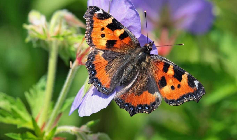 макро, цветы, бабочка, крапивница, обыкновенная,