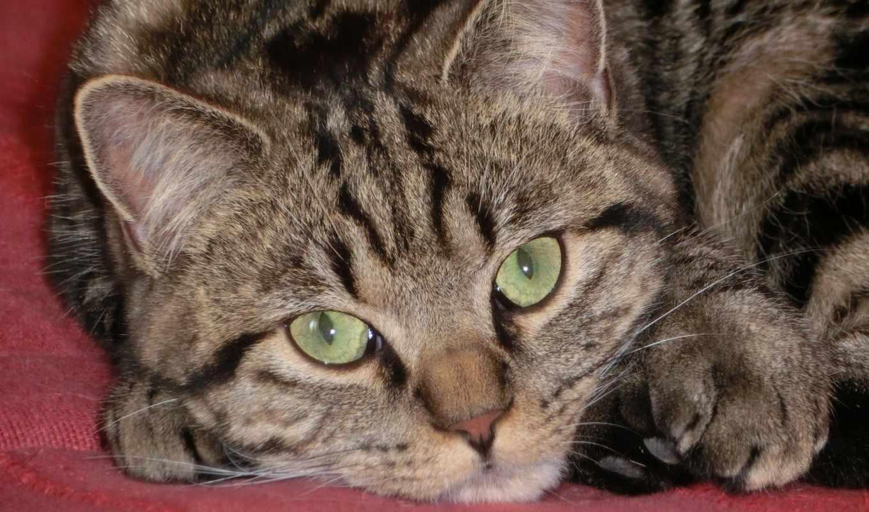 european, cats, shorthair,