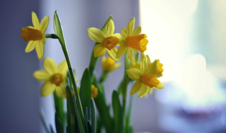flowers, narcissus, background, цветы, bokeh, desktop,