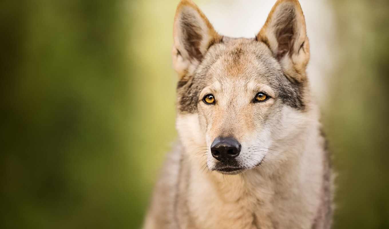 собака, animal, порода, wolfdog, группа, волк, смотреть, стрекоза, леопард