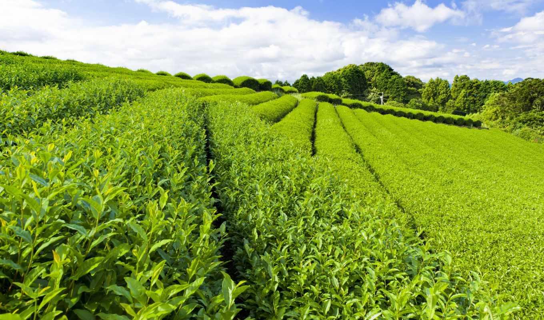 чайная, плантация, обои, зеленые, листья, тропинки
