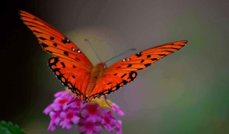 макро, butterfly, выпуск, стиле, подборка, цветок,