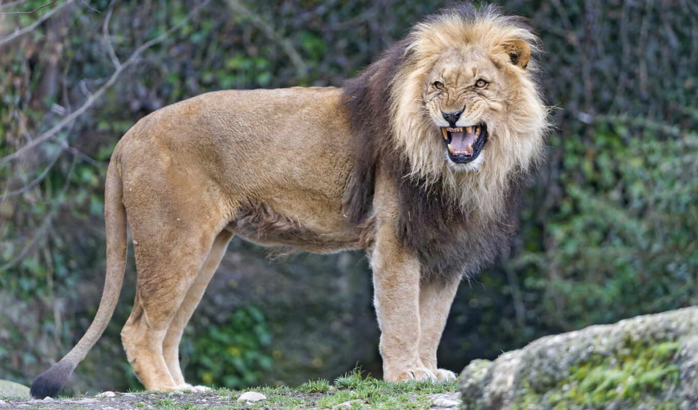 животные, кошки, большие, ухмылка, львы, рык,