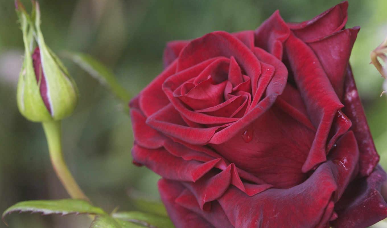 розы, красные, цветущая, роза, темно, коралловые, цветы,