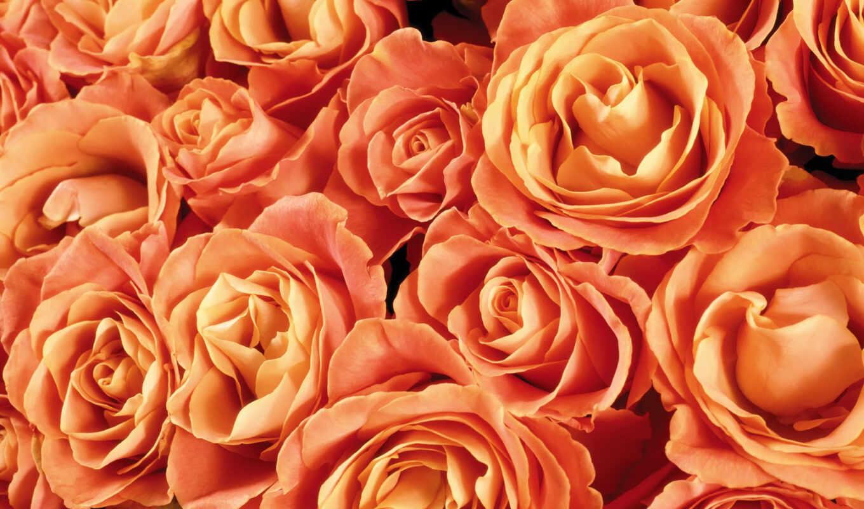 роза, чайная, oir, funart