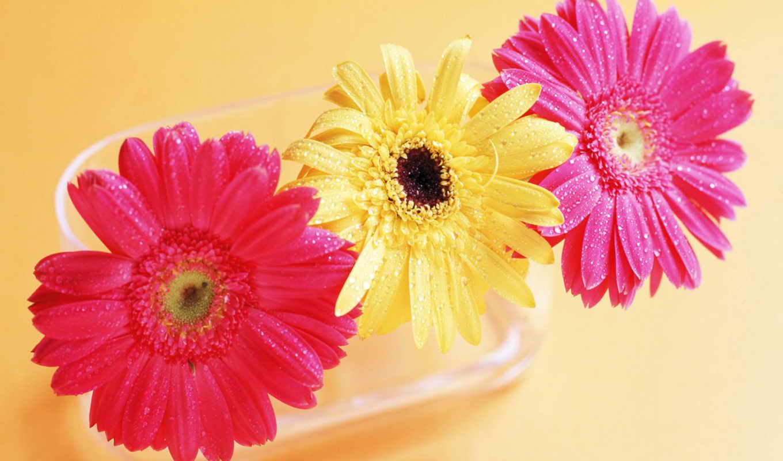 gerbera, цветы, герберы,