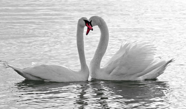 love, лебеди, птицы, water, белые, телефон, красивые, заставки,