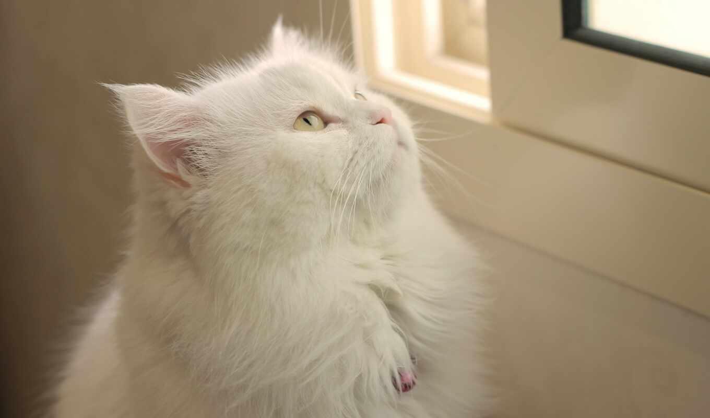 кот, white, пушистый, глаз