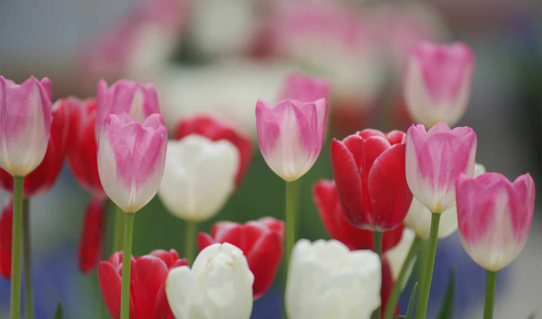 тюльпаны, цветные, поле,