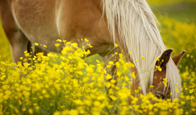 лошадь, луг, цветы, желтые,