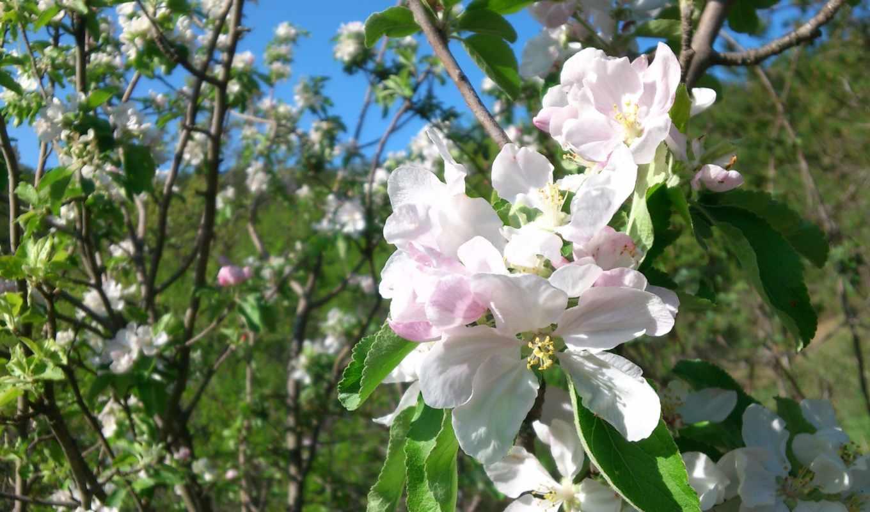 природа, весна, apple,