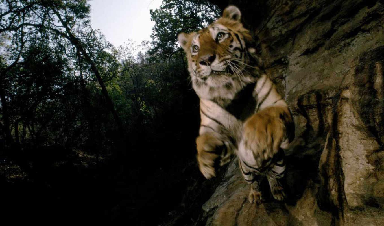тигр, прыжке, тигры, картинка, indian, бандхавгарх, park, николс, india, защитником, фотограф,