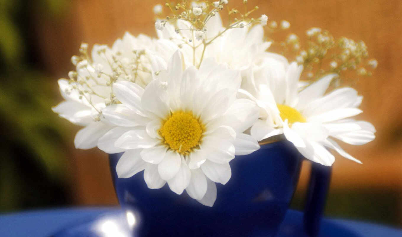 ромашки, цветы, красивые,