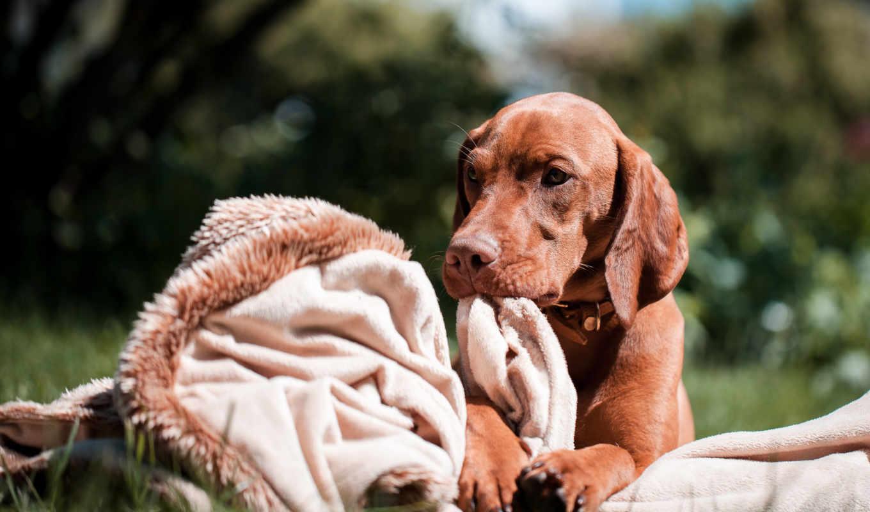 собака, порода, главная, собаки, взгляд, выжла, best, тренировочный,
