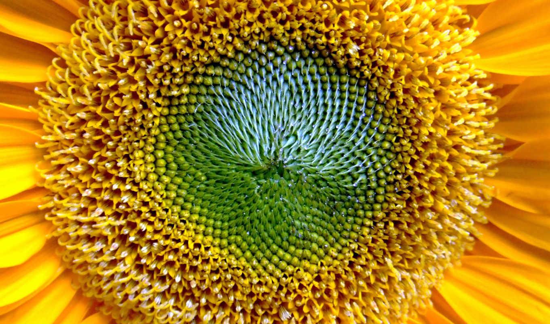подсолнухи, растения, цветы, possible, подсолнух,,