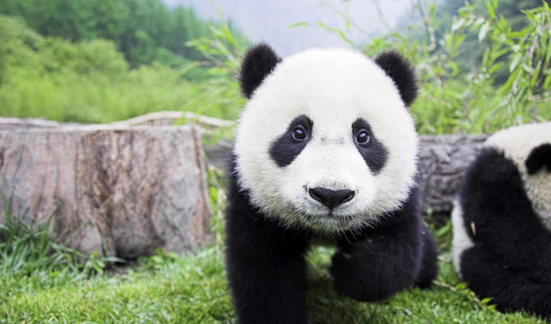 panda, baby, duvar, image, curious, search, widescreen, click,