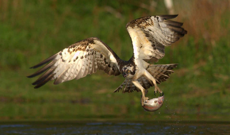 ,орел,рыба,охота,птица,