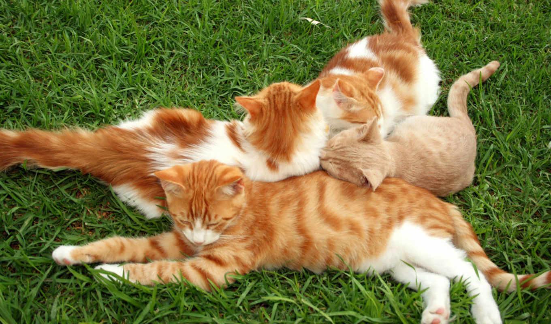 кошки, рыжие, red, картинку, собаки,