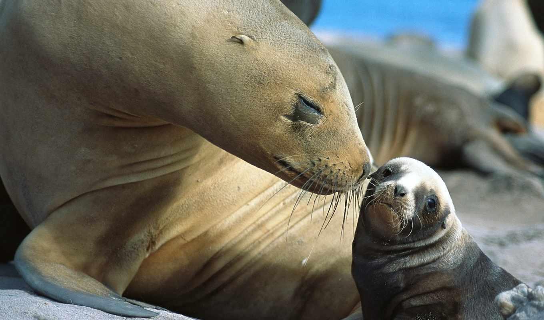 морские, котики, часть, истории, янв, морских, тюлень, море, животных, котиков, small,