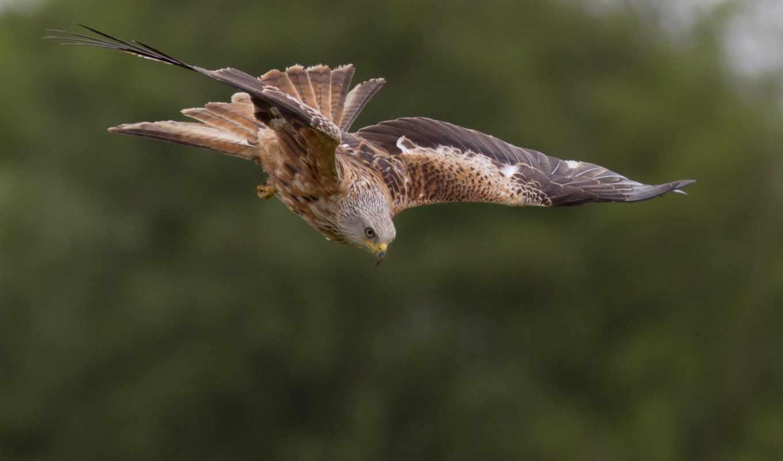 red, kite, milvus, zhivotnye, hunting, полет, обыкновенная,