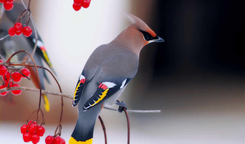 свиристель, птица, птицы, свиристели, калина, ветки, птиц, zhivotnye, ветке,