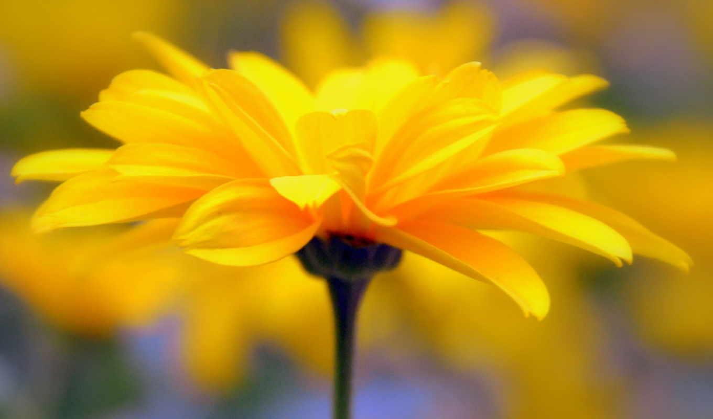 лепестки, желтый, цветок, стебель,
