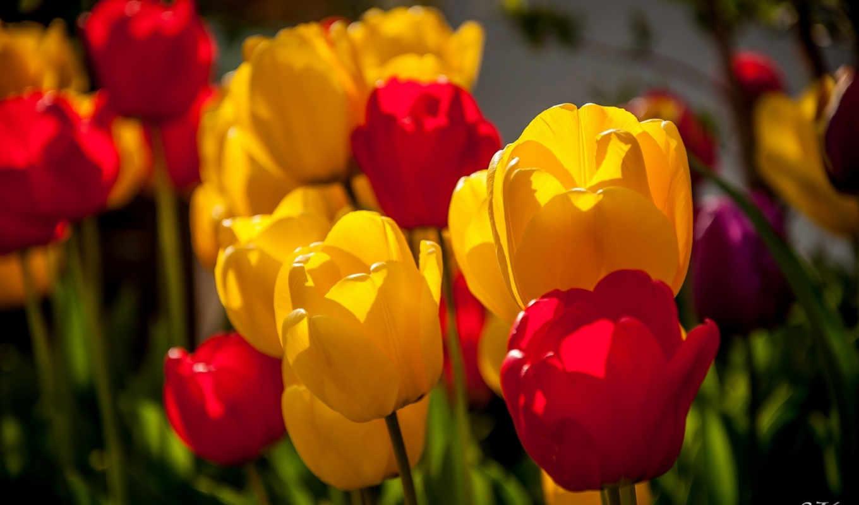 цветы, тюльпаны, красные, желтые,
