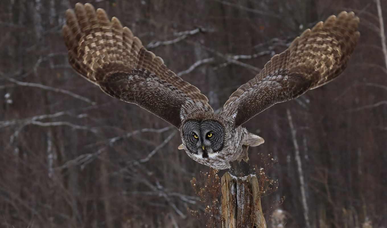 сова, природа, wings, смотреть, tapety, pulpit,