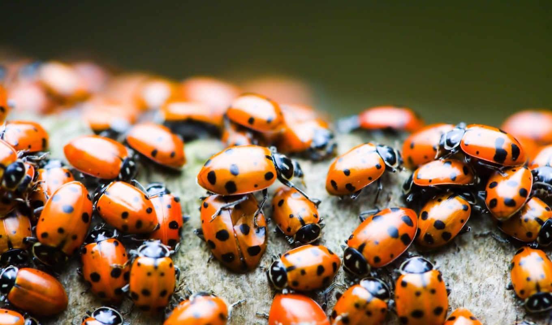 божьи, коровки, божья, national, geographic, названии, жуков, этих, coccinellidae, присутствует, входящих,