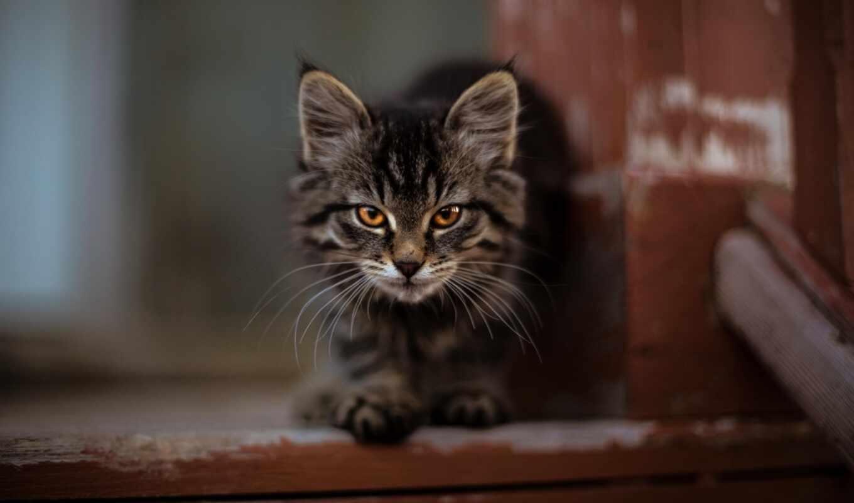 кот, котенок, cute, kitty, пушистый, кун, мэн, взгляд, морда