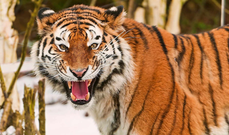 оскал, тигр, морда, амурский, взгляд, весело, усы, картинка, картинку,