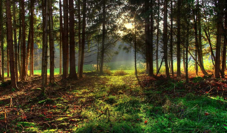 лес, деревья, трава, природа, лучи, зелень, картинку, красиво,