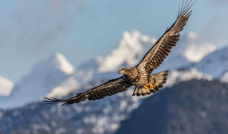 hawk, крыло, птица, орлан, kachemak, голубь, песчаный, subadult,