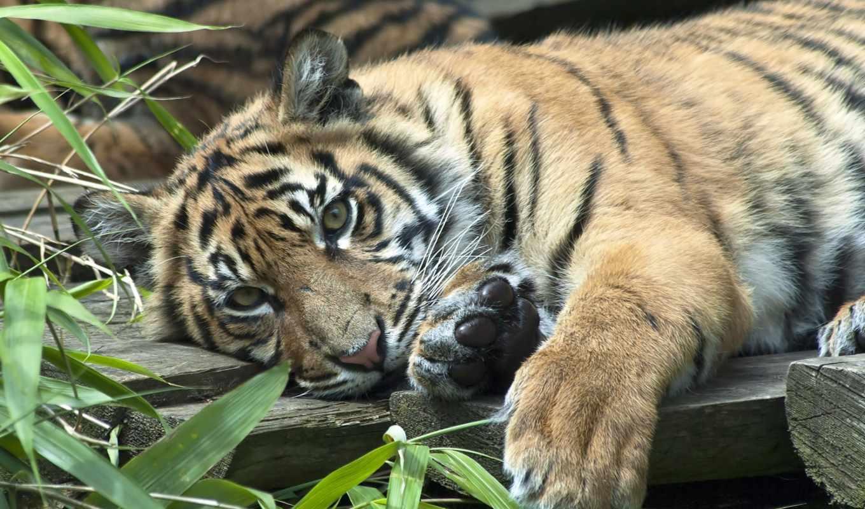 картинку, животные, кошка, хищник, тигр, суматранский, выберите, кнопкой, правой, мыши, тигренок, батик,
