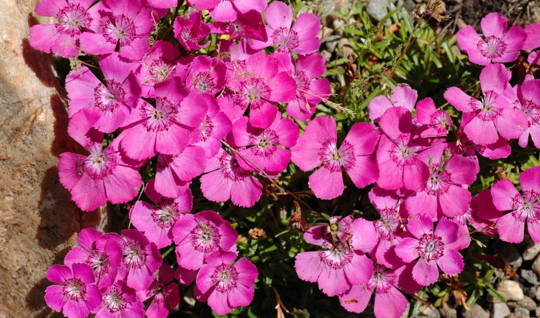 dianthus, розовый, цветы, гвоздики, barbatus, розы, много,