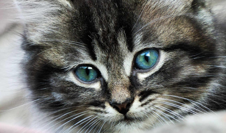 кот, свет, голубые, глаз, кошки, изображение, eyes, усы,