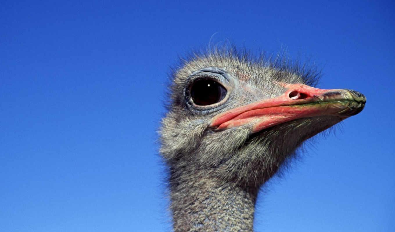 ostrich, страусы, страусов, zhivotnye, животных, дикие, красивые, животными, russian,