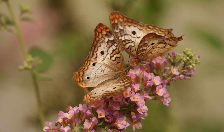 цветы, макро, бабочка, бабочки, peacock, white,