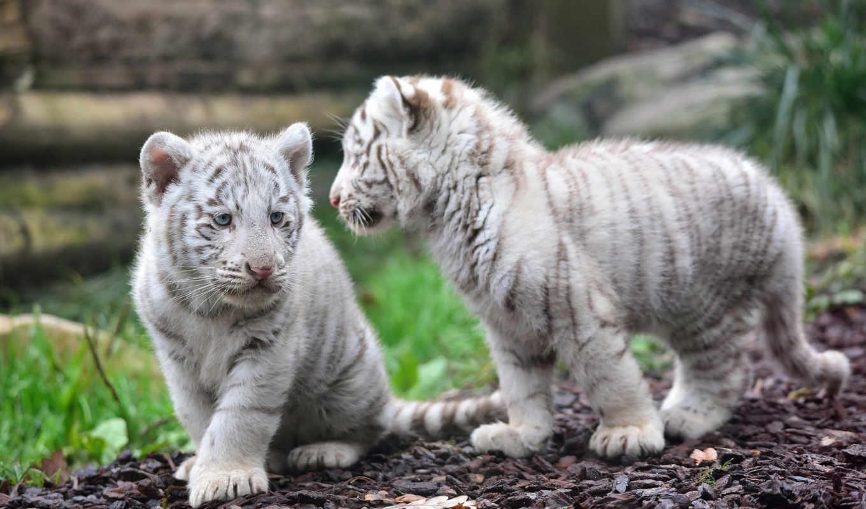 тигр, бенгальский, tigris, умер, дек, тигра, panthera, сказ, ялтинском, зоопарке, детёныш,