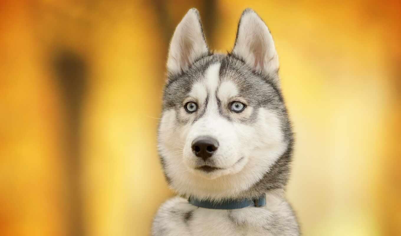 хаски, собака, хаска, yellow, siberian