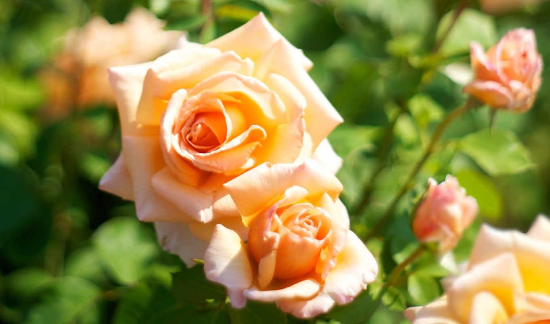 оранжевые, розы, цветы, макро, color, размытость,