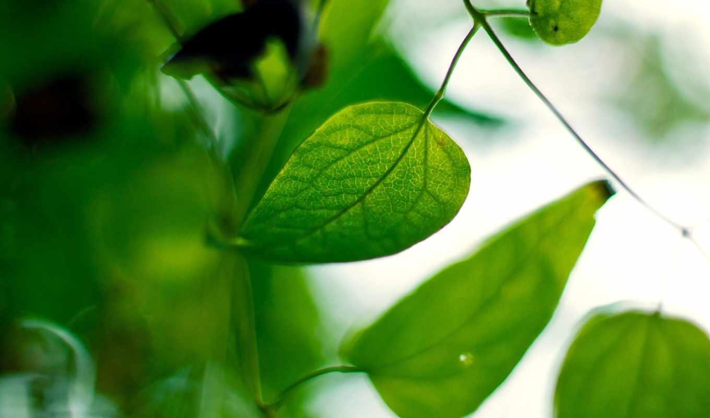 листья, дек, зеленые, уже,