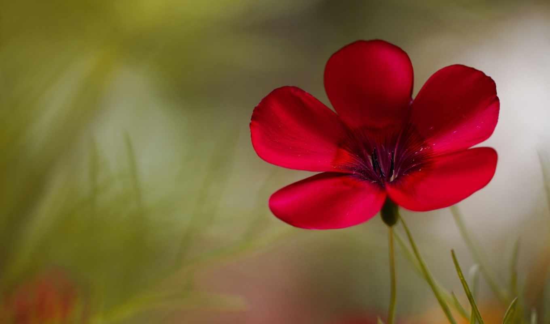 цветы, flowers, цветочек, розовый, красный цветок,